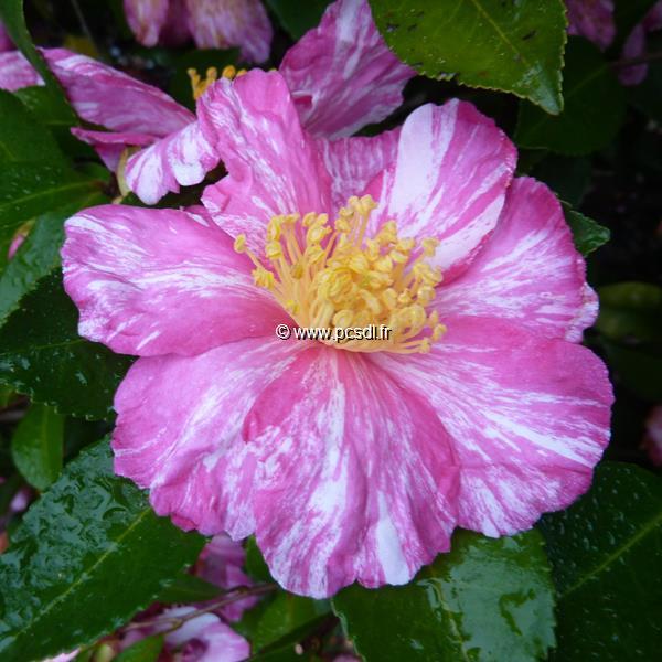Camellia sasanqua \'Ashtar\'