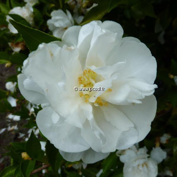 Camellia sasanqua \'Etoile du Berger\' C7L 60/80