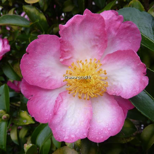 Camellia sasanqua \'Navajo\' C30L 150/175
