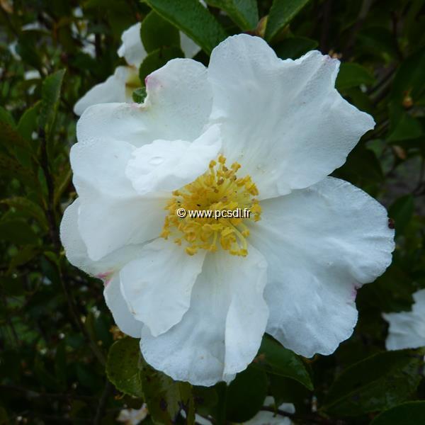 Camellia sasanqua \'Orcival\'