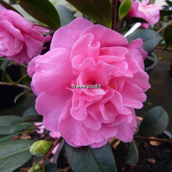 Camellia sasanqua \'Slimline With Love\'