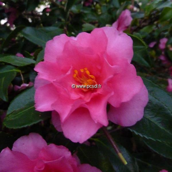 Camellia sasanqua var. hiemalis \'Shishigashira\'