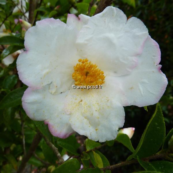Camellia x sasanqua \'Yoimachi\' C5L 30/40
