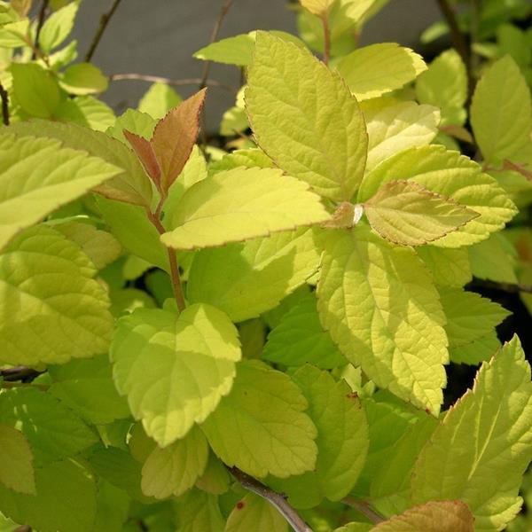 Spiraea japonica \'Gold Mound\' C4L 30/40