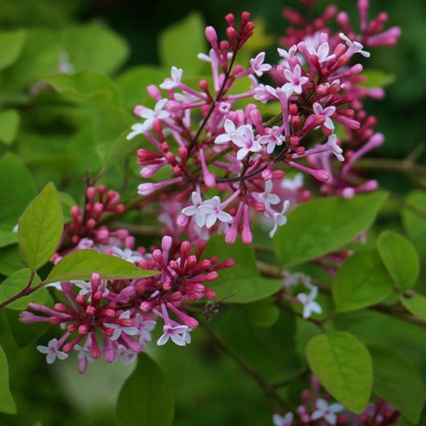syringa pubescens ssp microphylla 39 superba 39 40 50 c4l tous les arbustes p pini res c te sud. Black Bedroom Furniture Sets. Home Design Ideas