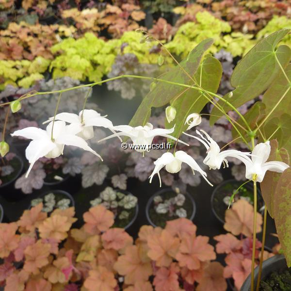Epimedium \'Artic Wings\' ® C3L