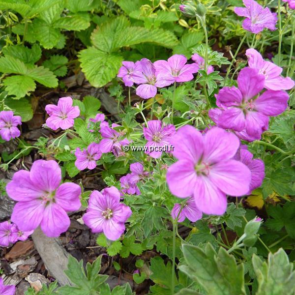 Geranium x riversleaianum \'Russell Prichard\' C3L