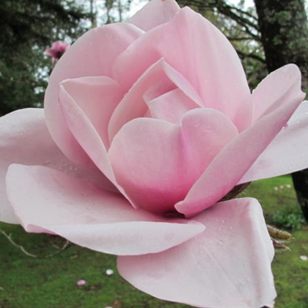 Magnolia \'Atlas\' C15L 225/250