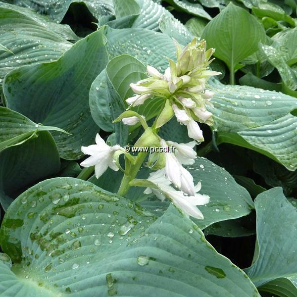 Hosta \'Big Daddy\' C3L
