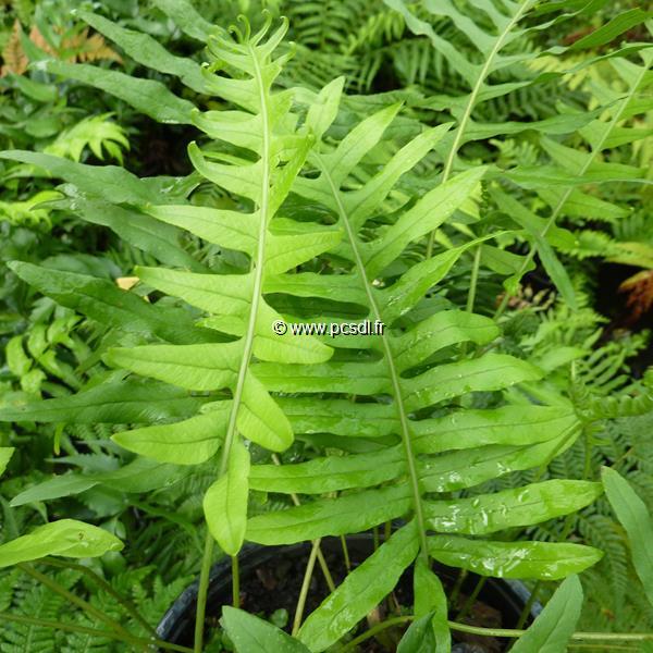 Polypodium vulgare C3L