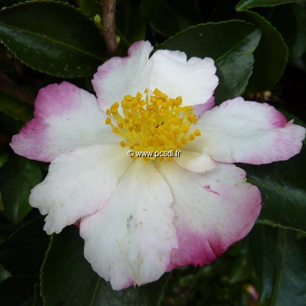 Camellia sasanqua \'Chantilly Rose\'