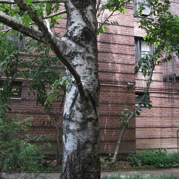 Betula pendula C4L 80/100