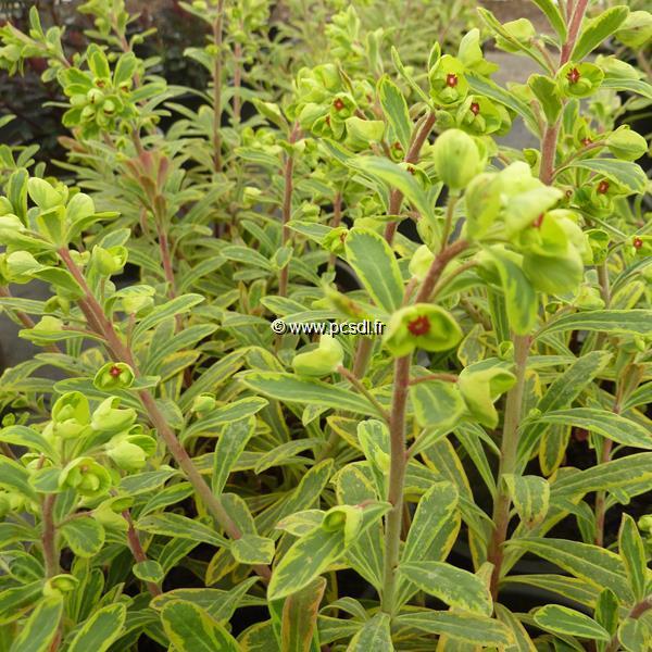 Euphorbia x martinii 'Ascot Rainbow' (3)