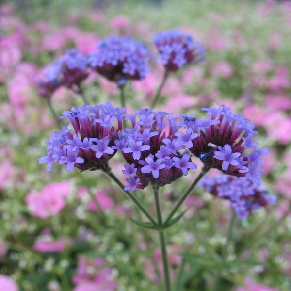 Verbena bonariensis \'Little One\' ® C3L