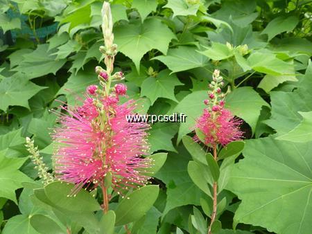 Callistemon viminalis \'Hot Pink\' ® 80/100 C7L