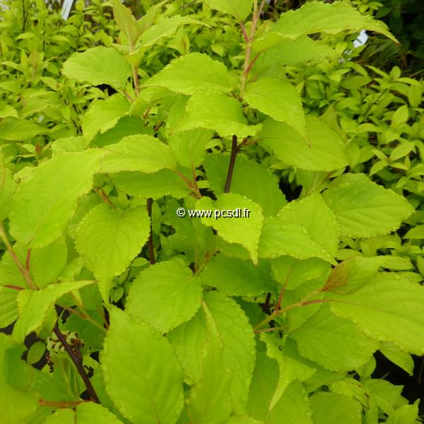 Stachyurus chinensis \'Goldbeater\' 40/50 C4L