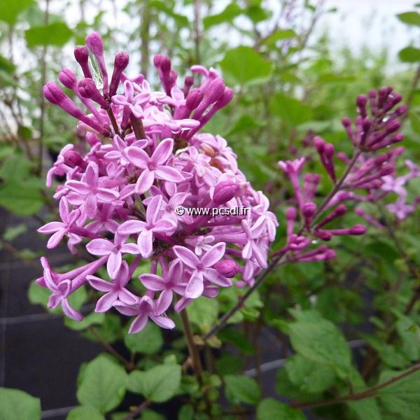 Syringa meyeri \'Jo Big Purple\' ® 40/50 C4L