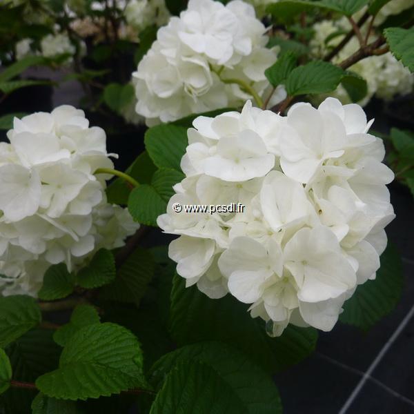 Viburnum plicatum \'Pop Corn\' C30L 150/175