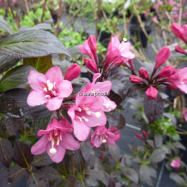 Weigela \'Minor Black\' ® C4L 40/50