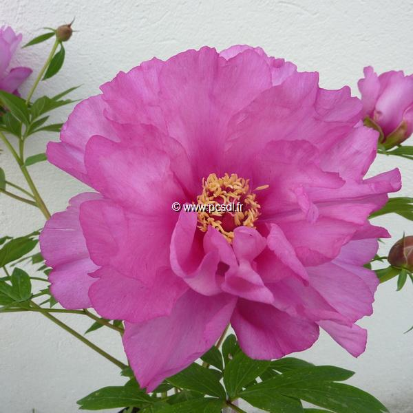 Paeonia x itoh \'First Arrival C3L
