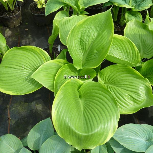 Hosta \'Winter Snow\' C3L