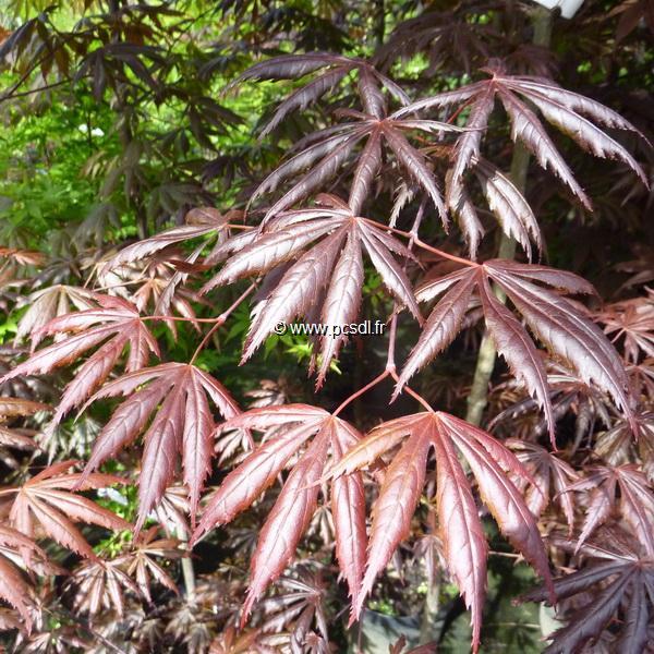 Acer palmatum \'Trompenburg\' C30L 225/250