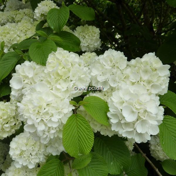 Viburnum plicatum \'Newport\' C4L 30/40