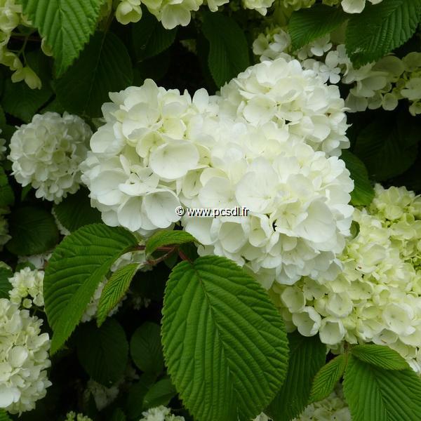Viburnum plicatum \'Newport\' C30L 125/150