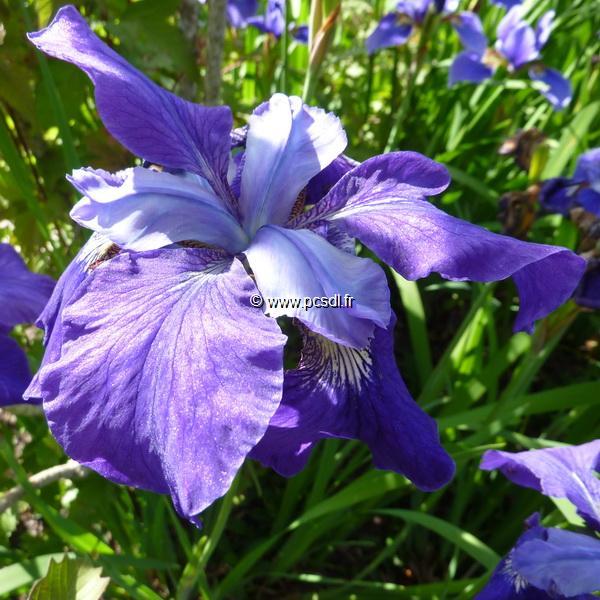 Iris sibirica C3L