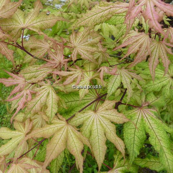 Acer palmatum \'Aka Shigitatsusawa\' C5L 60/80