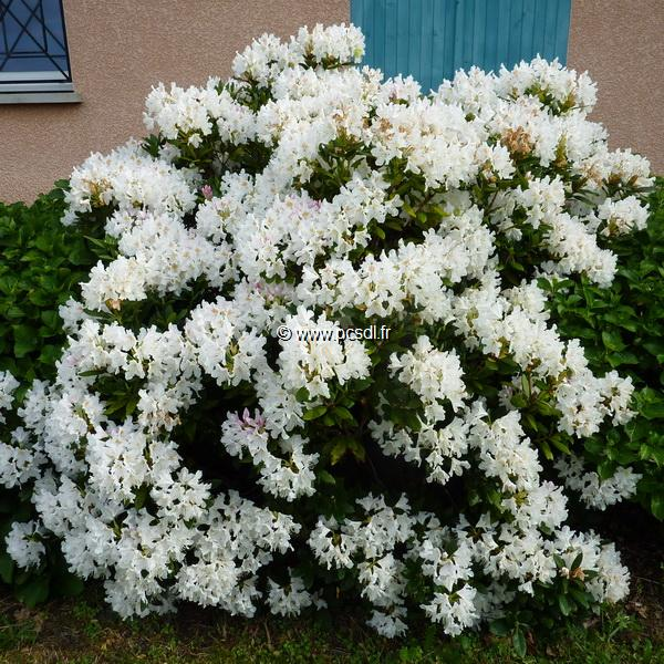 Rhododendron Mme masson (2)