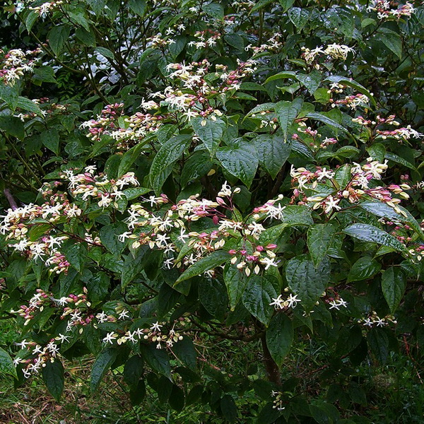 Clerodendroum trichotomum fargesii (1)