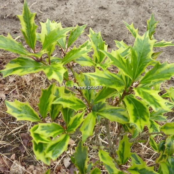 Osmanthus heterophyllus \'Aureomarginatus\' 120/150 C7,5L