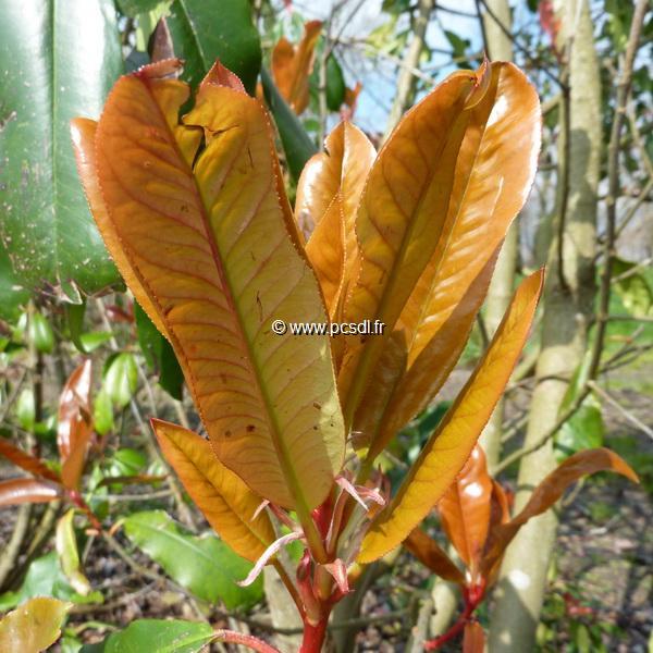 Photinia serrulata C4L 30/40