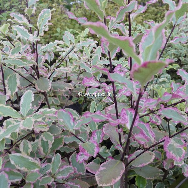 Pittosporum tenuifolium \'Elisabeth\' C4L 40/50