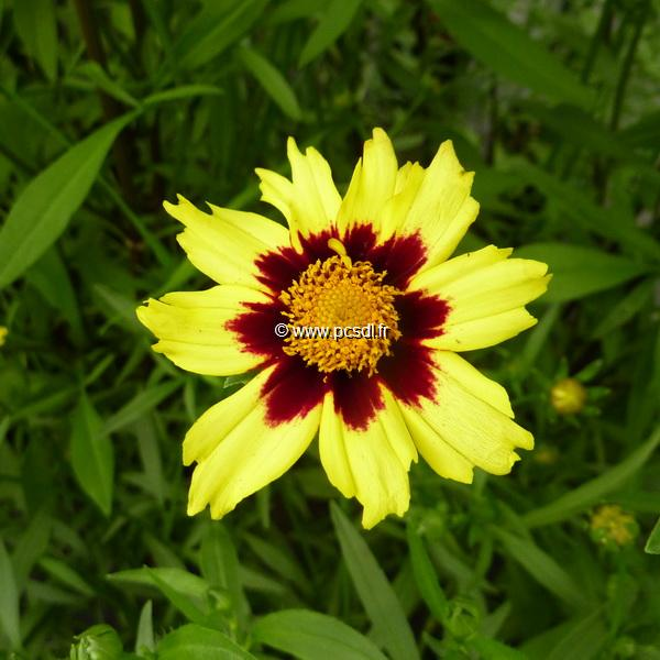 Coreopsis \'Cosmic Eye\' C3L