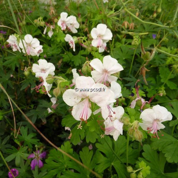 Geranium x cantabrigiense \'Biokovo\' C3L