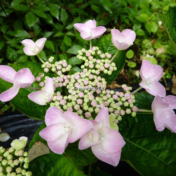 Hydrangea macrophylla \'Beijing\' ® 20/40 C4L