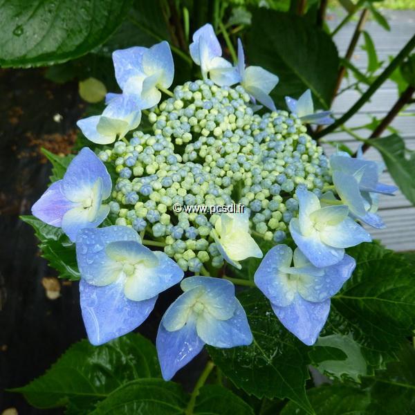 Hydrangea macrophylla \'Blaumeise\' 20/40 C4L