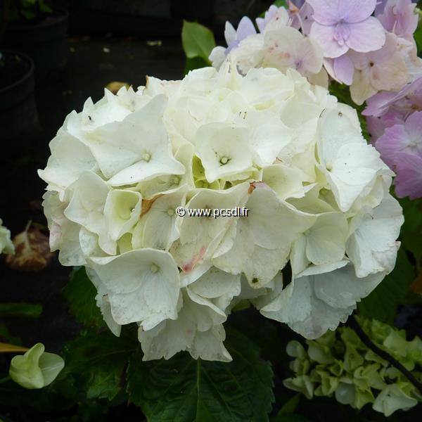 Hydrangea macrophylla \'Clarissa\' ® C4L 20/40