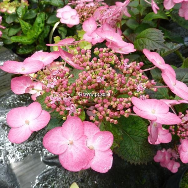 Hydrangea macrophylla \'Dancing Lady\' C4L 20/40