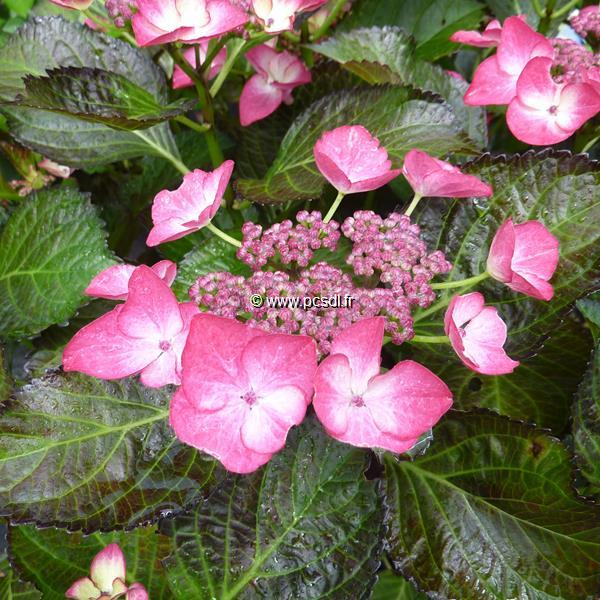 Hydrangea macrophylla (black diamonds) \'Dark Angel\' ® C4L 20/40