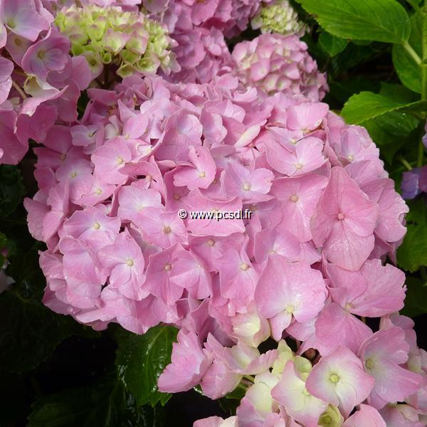 Hydrangea macrophylla \'Early Sensation\' 20/40 C3L