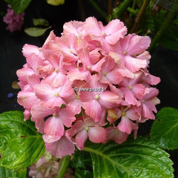 Hydrangea macrophylla \'Fantasia\' ® 20/40 C4L