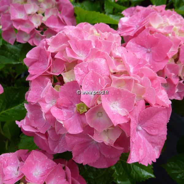 Hydrangea macrophylla \'Heinrich Seidel\' C4L 20/40