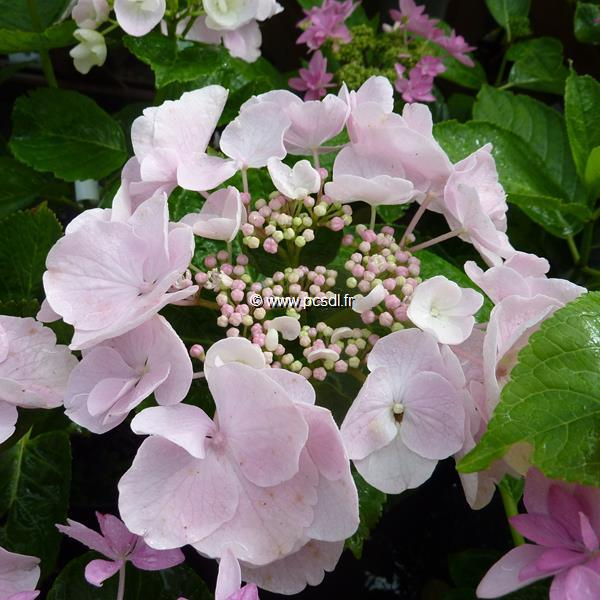 Hydrangea macrophylla (Hovaria) \'Hobella\' ® 20/40 C4L