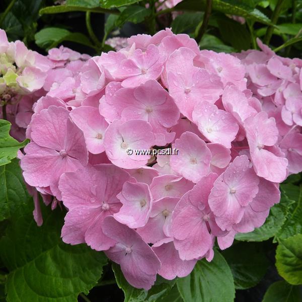 Hydrangea macrophylla (Hovaria) \'Homigo\' ® 20/40 C4L