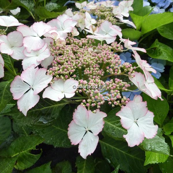 Hydrangea macrophylla (Hovaria) \'Love You Kiss\' ® C4L 20/40