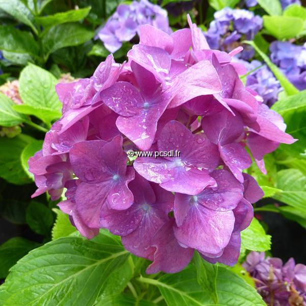 Hydrangea macrophylla \'Merlin\' 20/40 C4L