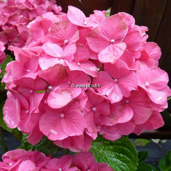 Hydrangea macrophylla \'Satinette\' 20/40 C4L